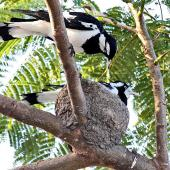 Magpie-lark. Adult pair at nest (female on nest). Cairns area, Australia, September 2010. Image © Dick Porter by Dick Porter