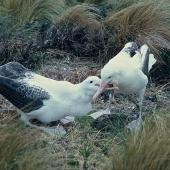 Southern royal albatross. Adult feeding juvenile. Mount Dumas, Campbell Island, November 1962. Image © Department of Conservation ( image ref: 10044283 ) by Alan Wright Courtesy of Department of Conservation