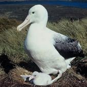Southern royal albatross. Adult and chick on nest . Campbell Island, February 1970. Image © Department of Conservation (image ref: 10044284) by Dick Veitch Courtesy of Department of Conservation