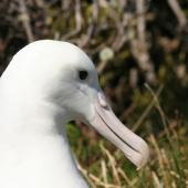 Southern royal albatross. Adult head. Enderby Island,  Auckland Islands, December 2005. Image © Department of Conservation ( image ref: 10059961 ) by Andrew Maloney Courtesy of Department of Conservation