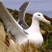 Southern royal albatross. Adult near nest showing wing details. Campbell Island, January 2007. Image © Ian Armitage by Ian Armitage