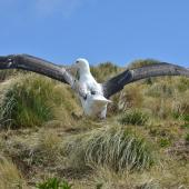 Southern royal albatross. Juvenile exercising wings showing upper surface. Campbell Island, October 2012. Image © Kyle Morrison by Kyle Morrison
