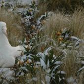Southern royal albatross. Adult incubating on nest after summer snowfall. Campbell Island, December 2010. Image © Kyle Morrison by Kyle Morrison