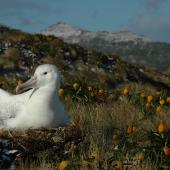 Southern royal albatross. Adult incubating with Bulbinella rossii flowers around nest. Campbell Island, December 2010. Image © Kyle Morrison by Kyle Morrison