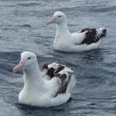 Southern royal albatross. Adult with Antipodean albatross behind. Off Kaikoura Peninsula, June 2015. Image © Alan Tennyson by Alan Tennyson