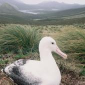 Southern royal albatross. Adult on nest. North Col, Campbell Island, January 1993. Image © Alan Tennyson by Alan Tennyson