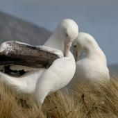 Southern royal albatross. Pair bonding. Campbell Island, February 2008. Image © Craig McKenzie by Craig McKenzie