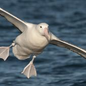Southern royal albatross. Adult landing on water. Kaikoura pelagic, January 2010. Image © Philip Griffin by Philip Griffin