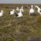 Southern royal albatross. Pre-breeding adult 'gam' group. Enderby Island, February 2010. Image © Geoff Rogers by Geoff Rogers