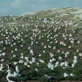 Northern royal albatross. Colony  . Little Sister Island,  Chatham Islands, November 1994. Image © Department of Conservation ( image ref: 10025689 ) by Chris Robertson Courtesy of Department of Conservation