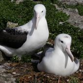 Northern royal albatross. Pair of adults at a nest with egg. Forty Fours,  Chatham Islands, December 2009. Image © Mark Fraser by Mark Fraser