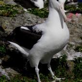 Northern royal albatross. Adult guarding a potential nest site. Forty Fours,  Chatham Islands, December 2009. Image © Mark Fraser by Mark Fraser