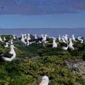 Northern royal albatross. Courting group (gam) of pre-breeders. Forty Fours,  Chatham Islands, December 2009. Image © Mark Fraser by Mark Fraser