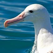 Northern royal albatross. Close view of head. Kaikoura pelagic, January 2015. Image © Silvia Giombi by Silvia Giombi