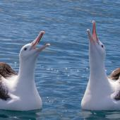 Northern royal albatross. Two adults displaying on the water. Kaikoura pelagic, November 2015. Image © David Brooks by David Brooks