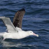 Northern royal albatross. Adult taking off. Near Taiaroa Head, June 2020. Image © Oscar Thomas by Oscar Thomas @oscarkokako