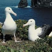 Northern royal albatross. Adult pair at nest. Little Sister Island, Chatham Islands, November 1993. Image © Department of Conservation by Rod Morris Courtesy of Department of Conservation
