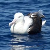 Northern royal albatross. Adult. Hauraki Gulf, February 2015. Image © Alan Tennyson by Alan Tennyson