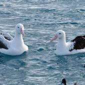 Northern royal albatross. Adult (right) with southern royal albatross (left) and Cape petrels. Off Kaikoura Peninsula, June 2015. Image © Alan Tennyson by Alan Tennyson