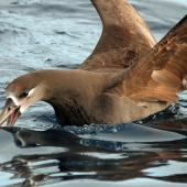 Black-footed albatross. Adult on water. Tori-shima, Japan, April 2009. Image © Nigel Voaden by Nigel Voaden http://www.flickr.com/photos/nvoaden/