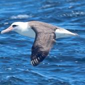 Laysan albatross. Adult. West of Channel Islands, California, April 2011. Image © Alexander Viduetsky by Alexander Viduetsky