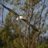 Laysan albatross. Breeding adult in flight. Hawai`i - Island of Kaua`i, February 2010. Image © Jim Denny by Jim Denny Jim Denny / kauaibirds.com