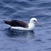 Laysan albatross. Adult at sea (first New Zealand record). Off Hawke Bay, December 1995. Image © Peter Langlands by Peter Langlands