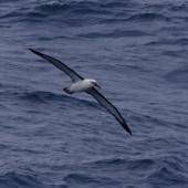 Indian Ocean yellow-nosed mollymawk. Adult in flight, ventral. South of St Paul Island, Southern Indian Ocean, January 2016. Image © Colin Miskelly by Colin Miskelly