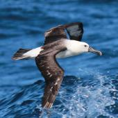 Indian Ocean yellow-nosed mollymawk. Adult in flight. Sydney pelagic, April 2015. Image © Imogen Warren by Imogen Warren