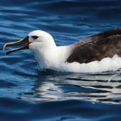 Indian Ocean yellow-nosed mollymawk. Adult on water. Sydney pelagic, April 2015. Image © Imogen Warren by Imogen Warren