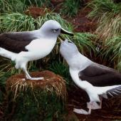 Grey-headed mollymawk. Adult pair displaying. Bull Rock colony, Campbell Island, November 1986. Image © Graeme Taylor by Graeme Taylor