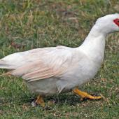 Muscovy duck. Adult white female. Foxton Beach, March 2009. Image © Duncan Watson by Duncan Watson