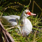 Muscovy duck. Adult female roosting. Maitai River, Nelson, February 2016. Image © Rochelle Marshall by Rochelle Marshall