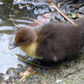 Muscovy duck. Duckling. Willowbank Wildlife Park, Christchurch, February 2019. Image © Alan Tennyson by Alan Tennyson