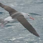 Black-browed mollymawk. Adult at sea. Cook Strait, Near Wellington, August 2014. Image © Kyle Morrison by Kyle Morrison