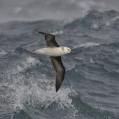 Black-browed mollymawk. Juvenile at sea, ventral view. South Atlantic, March 2016. Image © Gordon Petersen by Gordon Petersen © Gordon Petersen, petersenphoto.com