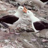 Black-browed mollymawk. Courting pair. Toru Islet, Western Chain, Snares Islands, December 1984. Image © Colin Miskelly by Colin Miskelly