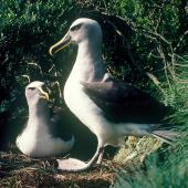 Buller's mollymawk. Southern subspecies pair at nest site. Little Solander Island, July 1985. Image © Colin Miskelly by Colin Miskelly