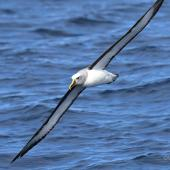 Buller's mollymawk. Adult in flight (southern subspecies). Tutukaka Pelagic out past Poor Knights Islands, July 2021. Image © Scott Brooks (ourspot) by Scott Brooks