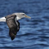 Buller's mollymawk. Adult southern Buller's mollymawk in flight. Port MacDonnell pelagic, South Australia, March 2017. Image © Craig Greer by Craig Greer