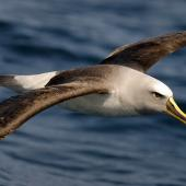 Buller's mollymawk. Dorsal view of adult in flight. Otago coast, October 2008. Image © Craig McKenzie by Craig McKenzie