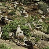 Buller's mollymawk. Northern subspecies breeding colony with chicks. Little Sister Island, Chatham Islands, February 1995. Image © Department of Conservation by Christopher Robertson Courtesy of Department of Conservation