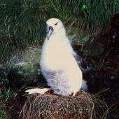 Buller's mollymawk. Southern subspecies chick on nest. Little Solander Island, July 1985. Image © Colin Miskelly by Colin Miskelly