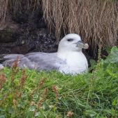 Northern fulmar. Pale morph adult (Atlantic subspecies) on nest. Farne Islands, United Kingdom, June 2015. Image © Kevin Agar by Kevin Agar