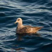 Northern fulmar. Dark morph adult with worn plumage at sea. First New Zealand record. At sea off the Snares Islands, February 2014. Image © Leon Berard by Leon Berard