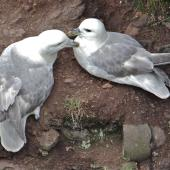 Northern fulmar. Pale morph adults at nest site (North Atlantic subspecies). Scotland, May 2015. Image © John Flux by John Flux
