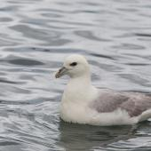 Northern fulmar. Pale morph adult on the water (North Atlantic subspecies). North west coast of Iceland. Image © Sonja Ross by Sonja Ross