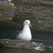 Northern fulmar. Pale morph adult, North Atlantic subspecies. Marwick Head, Orkney Islands, June 2012. Image © Alan Tennyson by Alan Tennyson