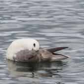 Northern fulmar. Pale morph adult preening on the water (North Atlantic subspecies). North west coast of Iceland. Image © Sonja Ross by Sonja Ross