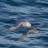 Northern fulmar. Pale and intermediate morph adults in flight (High Arctic subspecies). Svalbard. Image © Sonja Ross by Sonja Ross